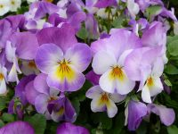 This image has an empty alt attribute; its file name is pansies-57134_640-e1589280795348.jpg