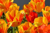 This image has an empty alt attribute; its file name is tulips-1261142_640-1-e1589280778527.jpg